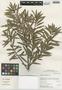 Podocarpus oleifolius D. Don ex Lamb., Peru, I. M. Sánchez Vega 10042, F