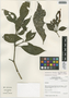 Sanchezia longiflora (Hook.) Hook. f. ex Planch., Peru, I. M. Sánchez Vega 9004, F