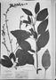 Field Museum photo negatives collection; München specimen of Salvia altissima Pohl, BRAZIL, J. B. E. Pohl, Type [status unknown], M