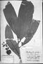 Field Museum photo negatives collection; München specimen of Naucleopsis macrophylla Miq., BRAZIL, C. F. P. Martius, Holotype, M