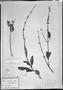 Field Museum photo negatives collection; München specimen of Salvia mariana Mart., BRAZIL, C. F. P. Martius, Holotype, M