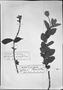 Field Museum photo negatives collection; München specimen of Salvia orophila Briq., BRAZIL, Princess T. von Bayern 287, Type [status unknown], M