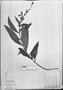 Field Museum photo negatives collection; München specimen of Salvia salicifolia Pohl, BRAZIL, J. B. E. Pohl, Isotype, M