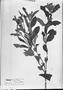 Field Museum photo negatives collection; München specimen of Salvia tormentella Pohl, BRAZIL, J. B. E. Pohl, Type [status unknown], M