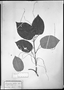 Field Museum photo negatives collection; München specimen of Sciadotenia paraensis (Eichler) Diels, BRAZIL, C. F. P. Martius, Type [status unknown], M