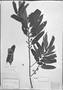 Field Museum photo negatives collection; München specimen of Virola oleifera (Schott) A. C. Sm., BRAZIL, C. F. P. Martius, M