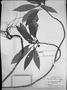 Field Museum photo negatives collection; München specimen of Dorstenia turnerifolia Fisch. & C. A. Mey., BRAZIL, J. B. E. Pohl, Type [status unknown], M