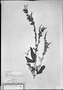 Field Museum photo negatives collection; München specimen of Salvia haenkei Benth., PERU, T. P. X. Haenke, Type [status unknown], M