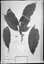Field Museum photo negatives collection; München specimen of Perebea xanthochyma H. Karst., VENEZUELA, G. C. W. H. Karsten, Type [status unknown], M