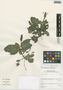 Fittonia albivenis (Lindl. ex Veitch) Brummitt, Peru, I. M. Sánchez Vega 10192, F