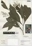 Pseuderanthemum chilianthium Leonard, Peru, I. M. Sánchez Vega 8049, F