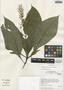Pseuderanthemum ctenospermum Leonard, Peru, I. M. Sánchez Vega 8317, F