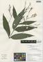 Ruellia pedunculosa (Nees) J. Lindau, Peru, I. M. Sánchez Vega 9840, F
