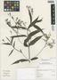 Ruellia pedunculosa (Nees) J. Lindau, Peru, I. M. Sánchez Vega 10194, F