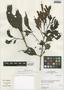Sanchezia longiflora (Hook.) Hook. f. ex Planch., Peru, I. M. Sánchez Vega 8080, F