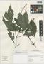 Stenostephanus sprucei (J. Lindau) Wassh. & J. R. I. Wood, Peru, I. M. Sánchez Vega 10193, F