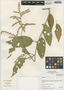 Chamissoa altissima (Jacq.) Kunth, Peru, I. M. Sánchez Vega 8571, F