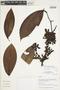 Guatteria punctata (Aubl.) R. A. Howard, Peru, I. M. Sánchez Vega 9344, F