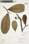 Guatteria griseifolia Maas & Westra, Peru, I. M. Sánchez Vega 8682, F