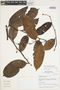 Guatteria punctata (Aubl.) R. A. Howard, Peru, I. M. Sánchez Vega 9448, F