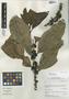 Ilex laurina Kunth, Peru, I. M. Sánchez Vega 9938, F