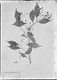 Field Museum photo negatives collection; München specimen of Ocotea laxa (Nees) Mez, BRAZIL, C. F. P. Martius, Type [status unknown], M