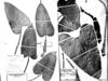 Philodendron erubescens image