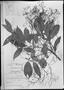 Field Museum photo negatives collection; München specimen of Aiouea saligna Mez, BRAZIL, C. W. H. Mosén 3462, Type [status unknown], M