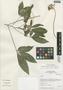 Podandrogyne mathewsii subsp. ulei (Briq.) Cochrane, Peru, I. M. Sánchez Vega 8396, F