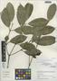 Garcinia madruno (Kunth) Hammel, Peru, I. M. Sánchez Vega 8600, F