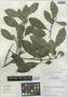 Garcinia madruno (Kunth) Hammel, Peru, I. M. Sánchez Vega 8499, F