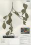 Terminalia amazonia (J. F. Gmel.) Exell, Peru, I. M. Sánchez Vega 9992, F