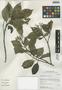 Cornus peruviana J. F. Macbr., Peru, I. M. Sánchez Vega 10030, F