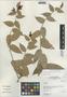 Cavendishia bracteata (Ruíz & Pav. ex J. St.-Hil.) Hoerold, Peru, I. M. Sánchez Vega 8025, F