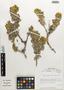 Huidobria fruticosa image