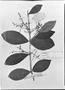 Field Museum photo negatives collection; München specimen of Myrcia prunifolia DC., BRAZIL, C. F. P. Martius, Holotype, M