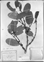 Salacia elliptica image