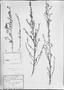 Field Museum photo negatives collection; München specimen of Sida aurantiaca var. fragrantissima K. Schum., BRAZIL, C. F. P. Martius, Type [status unknown], M