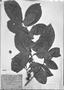 Field Museum photo negatives collection; München specimen of Sloanea guianensis Benth., BRAZIL, C. F. P. Martius, Type [status unknown], M