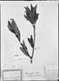 Field Museum photo negatives collection; München specimen of Ilex amygdalina Reissek, PERU, T. P. X. Haenke, Type [status unknown], M