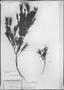 Blepharocalyx myriophyllus image