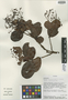 Myrcia subcordifolia B. Holst & M. L. Kawasaki, Ecuador, W. A. Palacios 6723, Isotype, F