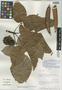 Pseudobombax cajamarcanus Fern. Alonso, Peru, C. Díaz S. 2189, Isotype, F
