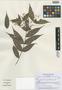 Myrcia aequatoriensis M. L. Kawasaki & B. Holst, Ecuador, H. Balslev 97496, Isotype, F