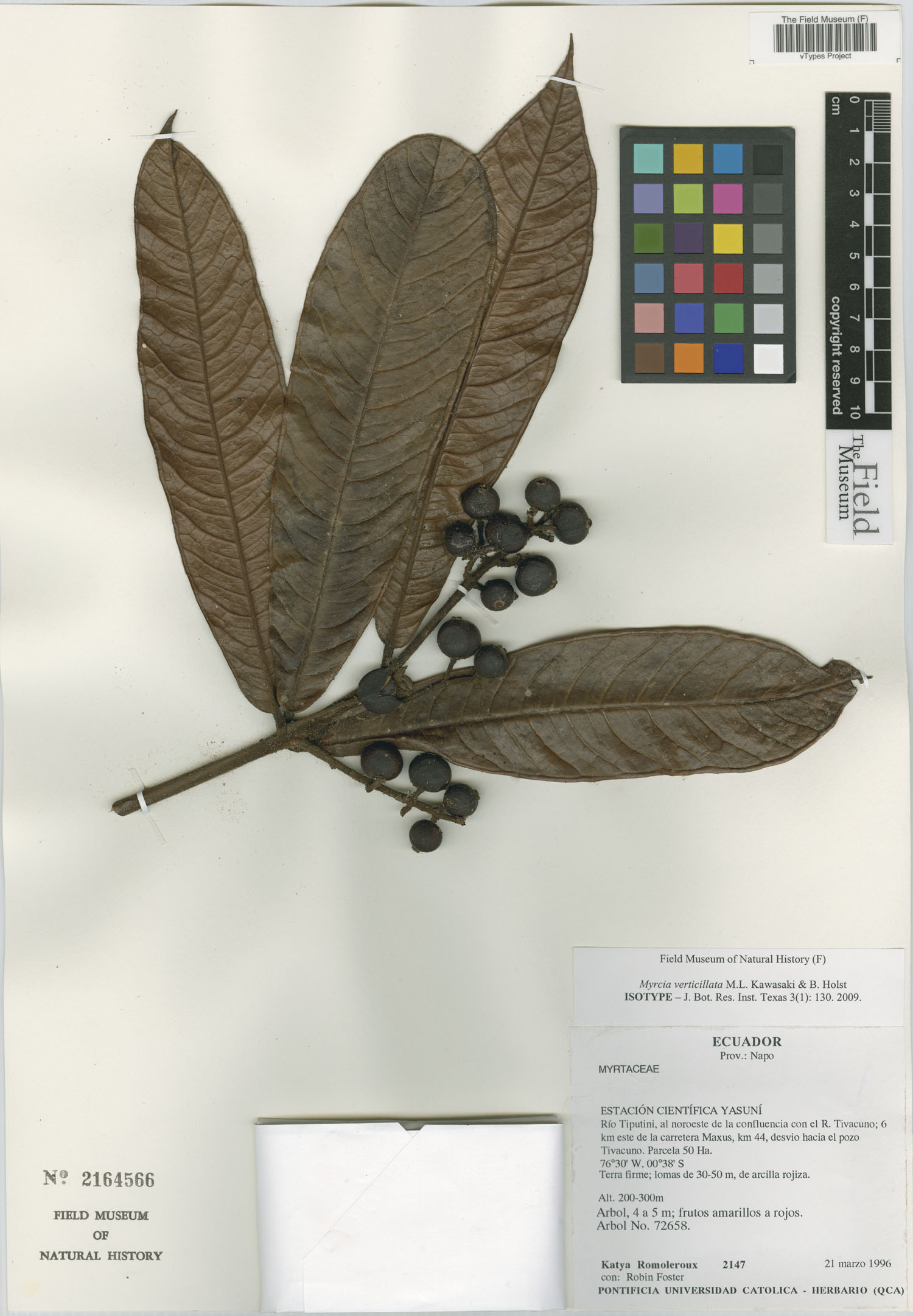Specimen: Myrcia verticillata