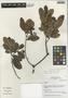 Humiria balsamifera Aubl., Peru, I. M. Sánchez Vega 9498, F