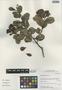 Humiria balsamifera Aubl., Peru, I. M. Sánchez Vega 10066, F
