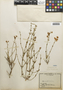 Flora of the Lomas Formations: Dinemagonum gayanum A. Juss., Chile, E. Werdermann 157, F