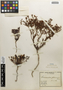 Flora of the Lomas Formations: Dinemandra ericoides A. Juss., Chile, E. Werdermann 414, F