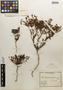 Dinemandra ericoides image